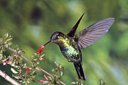 Hummingbird In Flight Posters - Fiery-throated Hummingbird Panterpe Poster by Michael & Patricia Fogden