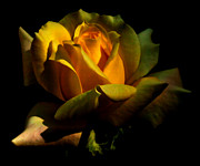 Fiery Framed Prints - Fiery yellow rose Framed Print by Ted Petrovits