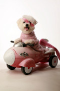 Bichon Frise Photos - Fifi experiances a rough landing in her rocket car by Michael Ledray
