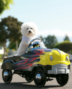 Pedal Car Posters - Fifi goes for a car ride Poster by Michael Ledray
