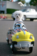 Bichon Frise Framed Prints - Fifi goes for a ride Framed Print by Michael Ledray