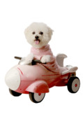 Bichon Frise Photos - Fifi is ready for blas off by Michael Ledray