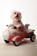 Bichon Frise Framed Prints - Fifi is ready for take off in her rocket car Framed Print by Michael Ledray