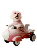 Toy Dog Posters - Fifi is ready for take off  Poster by Michael Ledray