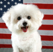 Bichon Frise Framed Prints - Fifi Loves America Framed Print by Michael Ledray