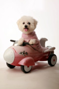 Toy Dog Posters - Fifi ready for take off Poster by Michael Ledray
