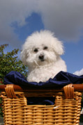 Bichon Frise Photos - Fifi says Hi by Michael Ledray