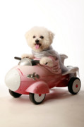 Michael Sweet Posters - Fifi the Bichon Frise and her Rocket Car Poster by Michael Ledray