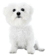 Dog Prints Photos - Fifi the Bichon Frise in White On White by Michael Ledray