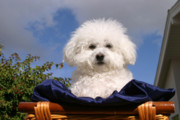Bichon Frise Framed Prints - Fifi the Bichon Frise Framed Print by Michael Ledray