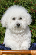 Love The Animal Prints - Fifi the Bichon  Print by Michael Ledray