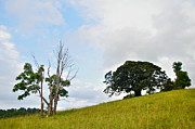 Fig Tree On A Hill Print by Kaye Menner