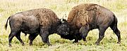 American Bison Prints - Fight  Print by Larry Ricker