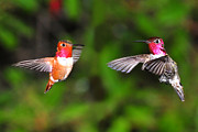Hummingbird Photos - Fight Time by Jack Moskovita
