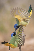 Hector D Astorga - Fighting Greenjays