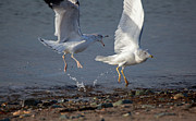 Coastal Birds Posters - Fighting Gulls Poster by Karol  Livote