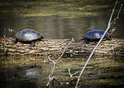 Nature Center Pond Prints - Fighting Pond Turtles Print by LeeAnn McLaneGoetz McLaneGoetzStudioLLCcom