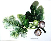 Figs Framed Prints - Figs Framed Print by Ben Saturen