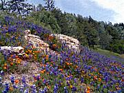 Blue Bonnets Framed Prints - Figueroa Mountain Splendor Framed Print by Kurt Van Wagner