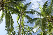 Coconut Palm Tree Posters - Fiji Coconut Palm Plantation Poster by M Timothy O