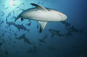 Shark Posters - Fiji Sharks Poster by Nature, underwater and art photos. www.Narchuk.com
