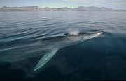 Animalsandearth Photos - Fin Whale Balaenoptera Physalus by Flip Nicklin