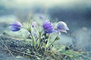 Pasque Flower Art - Finally Spring by Priska Wettstein