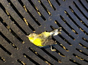 Nate Breslaw - Finch Died of Natural...