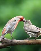 Wingsdomain Art and Photography - Finch Kiss
