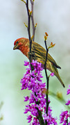 Budding Tree Prints - Finch on Blooming Branch Print by Bill Tiepelman