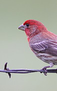 House Finch Prints - Finch On Fence Print by Robert Frederick