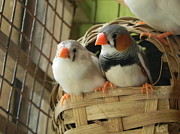 Arindam Raha - Finches in their Nest
