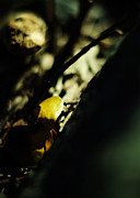 Yellow Leaf Photos - Finding Gold by Rebecca Sherman