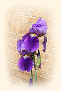 Color Purple Framed Prints - Fine Art Double Purple Iris with Bricks Framed Print by Linda Phelps