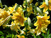Lilies Art - Fine Art Lilies Yellow Colorful Bright Lily Flowers Baslee Troutman by Baslee Troutman Fine Art Prints