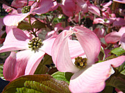 Recent Posters - Fine Art Prints Pink Dogwood Flowers Poster by Baslee Troutman Fine Art Photography