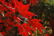 Red Leaves Acrylic Prints - Finer Points Of Red Acrylic Print by Trish Hale