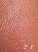 Finger Prints - Fingerprint Ridges Print by Photo Researchers, Inc.