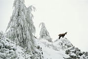 Fir Trees Prints - Fir Trees And Chamois In Snow Print by Norbert Rosing