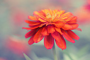 Macro Floral Photos Posters - Fire and Ice Poster by Amy Tyler
