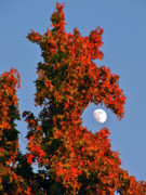 Red Maple Tree Photos - Fire Dragon Tree Eats Moon by CML Brown