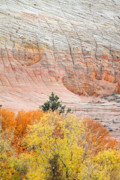 Zion National Park Photos - fire foliage at Checkerboard mesa in Zion National park by Pierre Leclerc