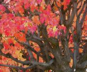 Fall Colors Art - Fire Maple by Laura Yamada
