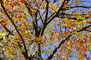 Turning Leaves Prints - Fire Maple Print by Luke Moore