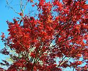 Red Leaves Photos - Fire Tree I by Jai Johnson