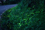 Longhorn Photos - Fireflies At Night by Joyoyo Chen