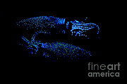 Deepsea Framed Prints - Firefly Squid Framed Print by Dante Fenolio