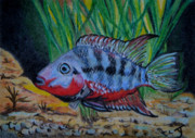 Tropical Fish Drawings Posters - Firemouth Cichlid ACEO Poster by Yvonne Johnstone