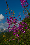 Lush Colors Framed Prints - Fireweed And The Castles Framed Print by Crystal Garner