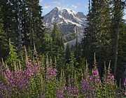 Mt Rainier National Park Art - Fireweed Flowering And Mount Rainier by Tim Fitzharris